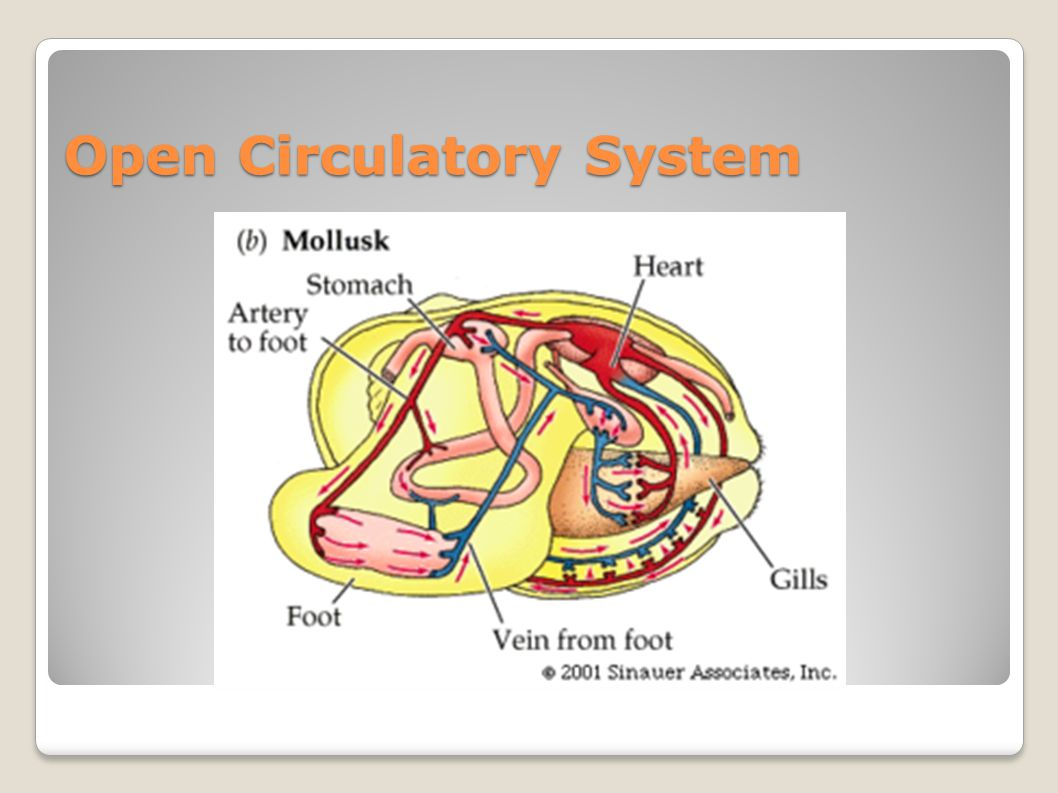 Chapter 10 phylum mollusca ppt video online download 14 open circulatory system ccuart Image collections