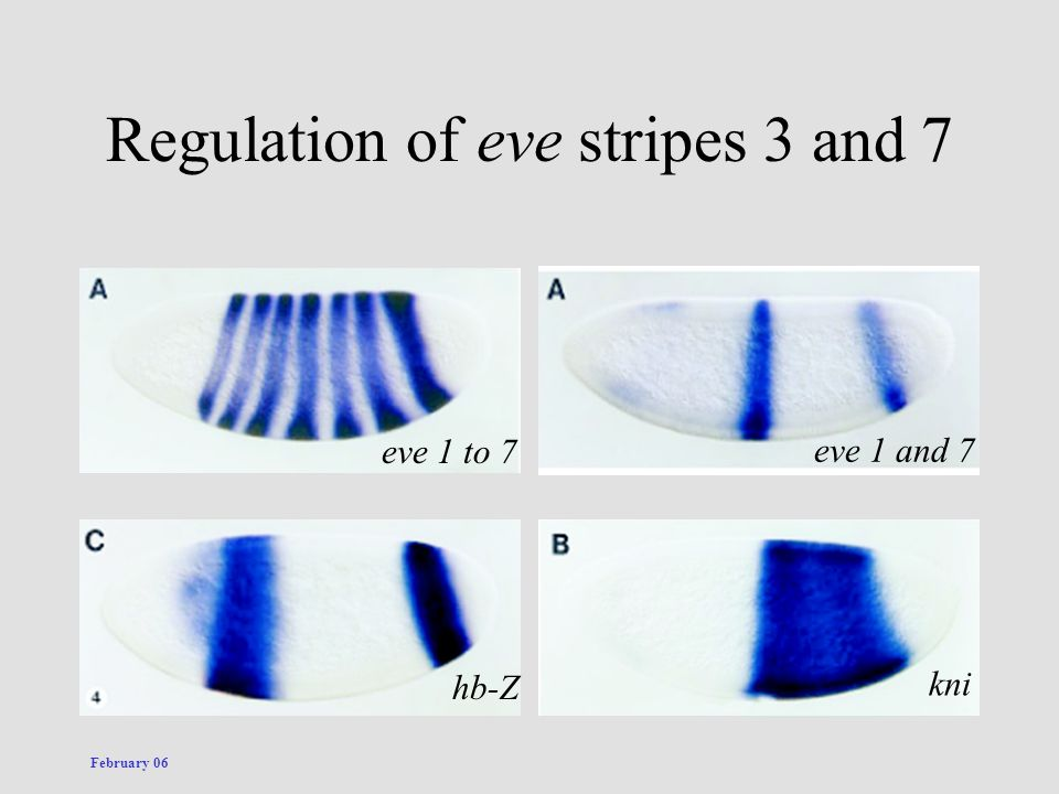 Regulation of eve stripes 3 and 7