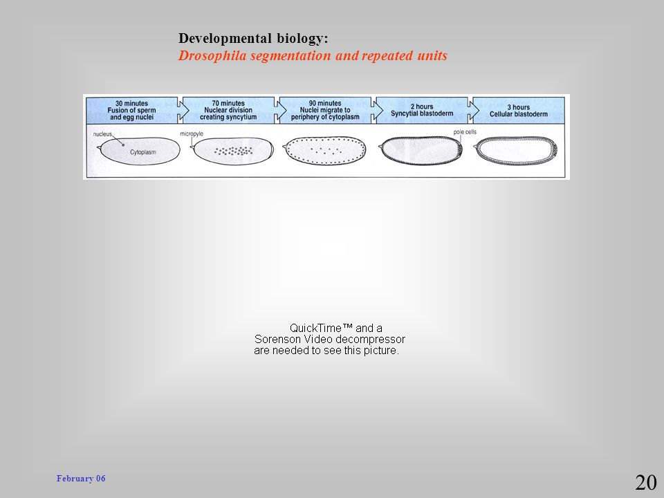 20 Developmental biology: Drosophila segmentation and repeated units