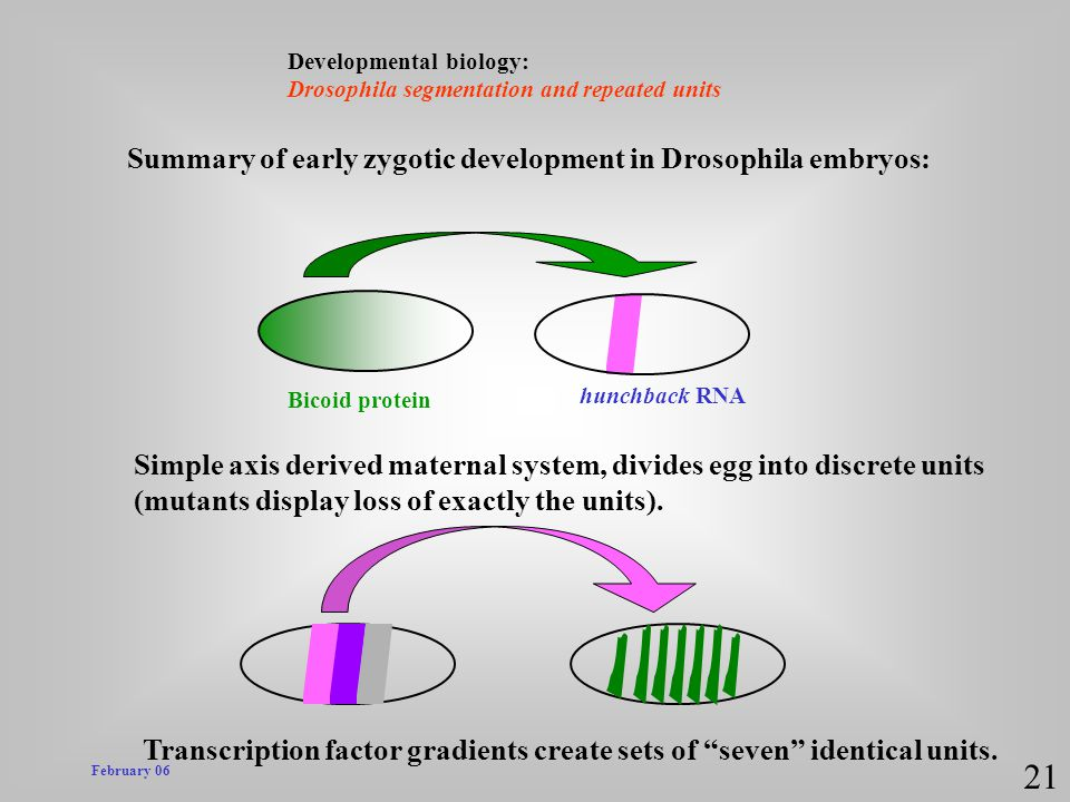 21 Summary of early zygotic development in Drosophila embryos: