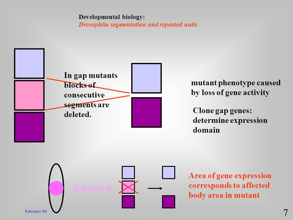 7 In gap mutants blocks of mutant phenotype caused consecutive