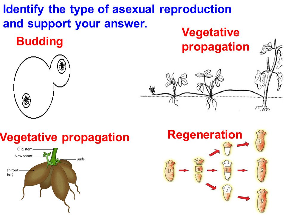 Identify 2 types of asexual reproduction in plants