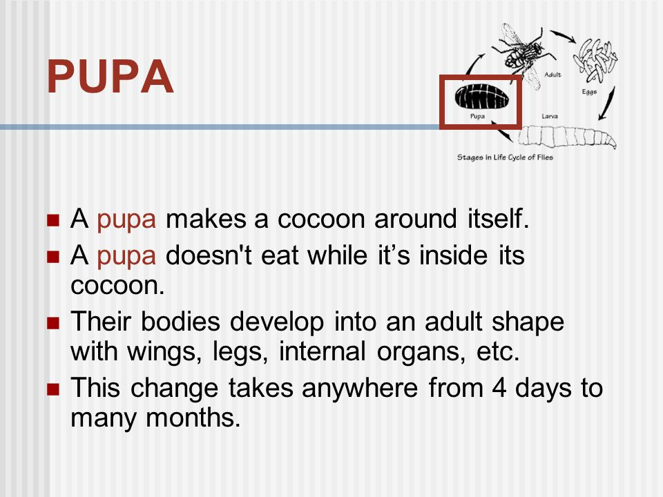 PUPA A pupa makes a cocoon around itself.