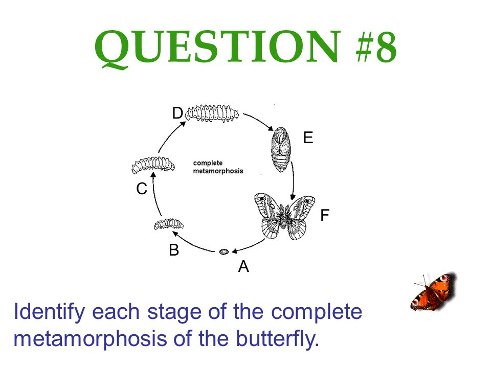 QUESTION #8 D E C F B A Identify each stage of the complete metamorphosis of the butterfly.