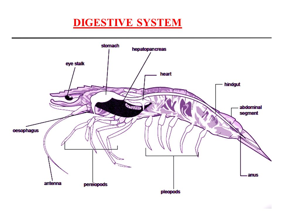 The fresh water prawn palaemon ppt video online download 8 digestive system ccuart Image collections