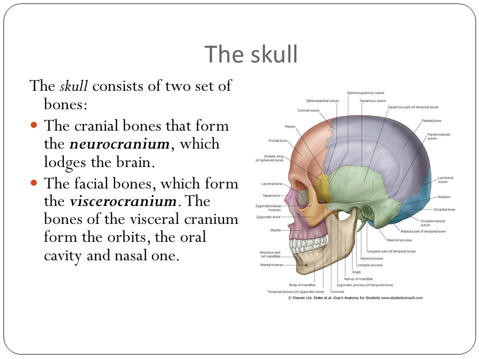 Functional Anatomy Of Skull Ppt Download