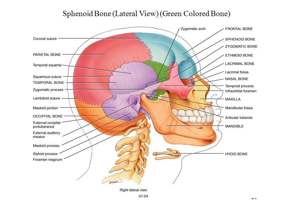 where is the sphenoid bone