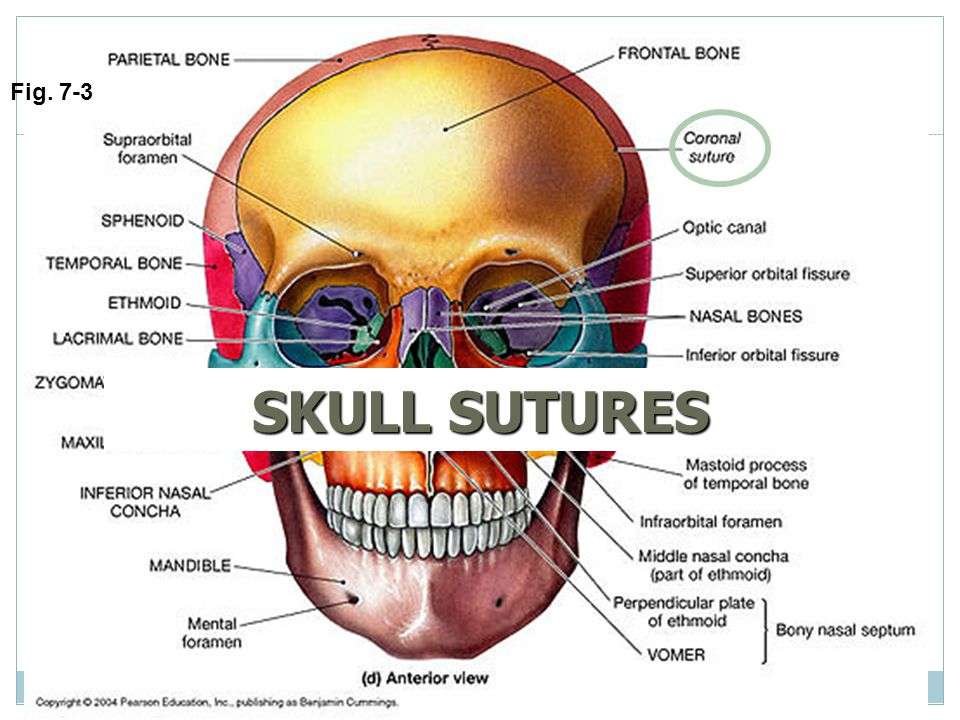 Attractive Cranial Sutures Anatomy Pattern - Anatomy And Physiology ...