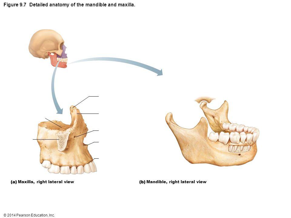 Outstanding Anatomy Of Maxilla And Mandible Gallery Anatomy And