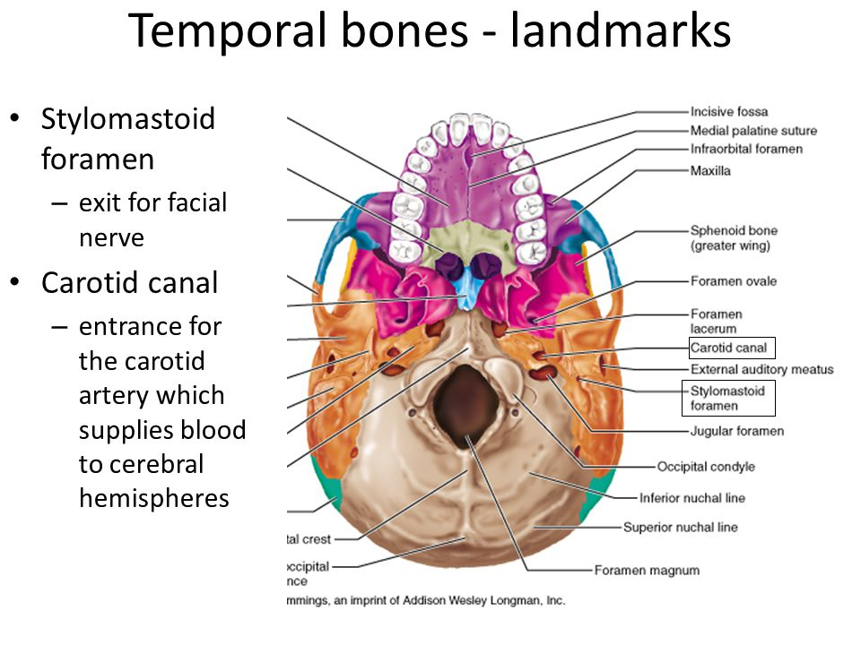 Bones and cavities of the facial cranium - ppt video online download