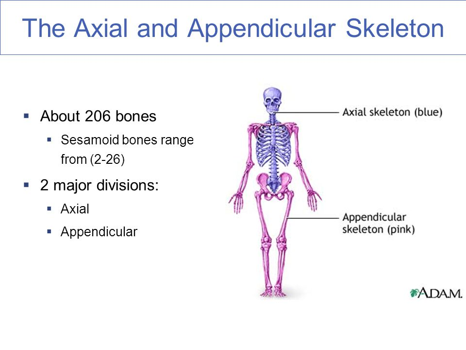 compare and contrast axial skeleton and appendicular skeleton