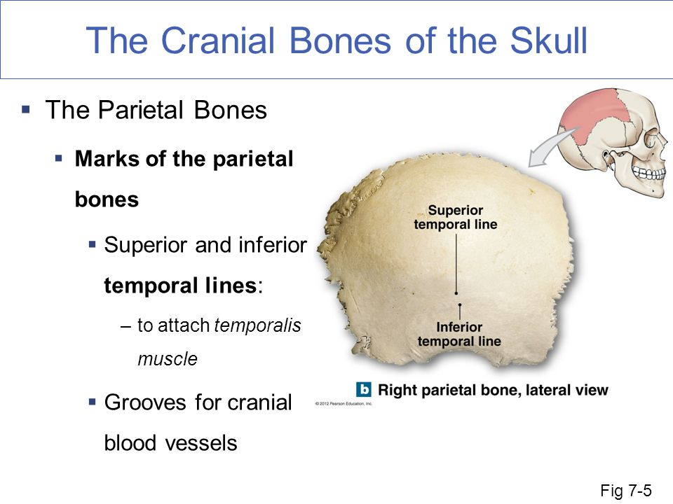 The Axial Skeleton Fun Facts About Bones Ppt Download