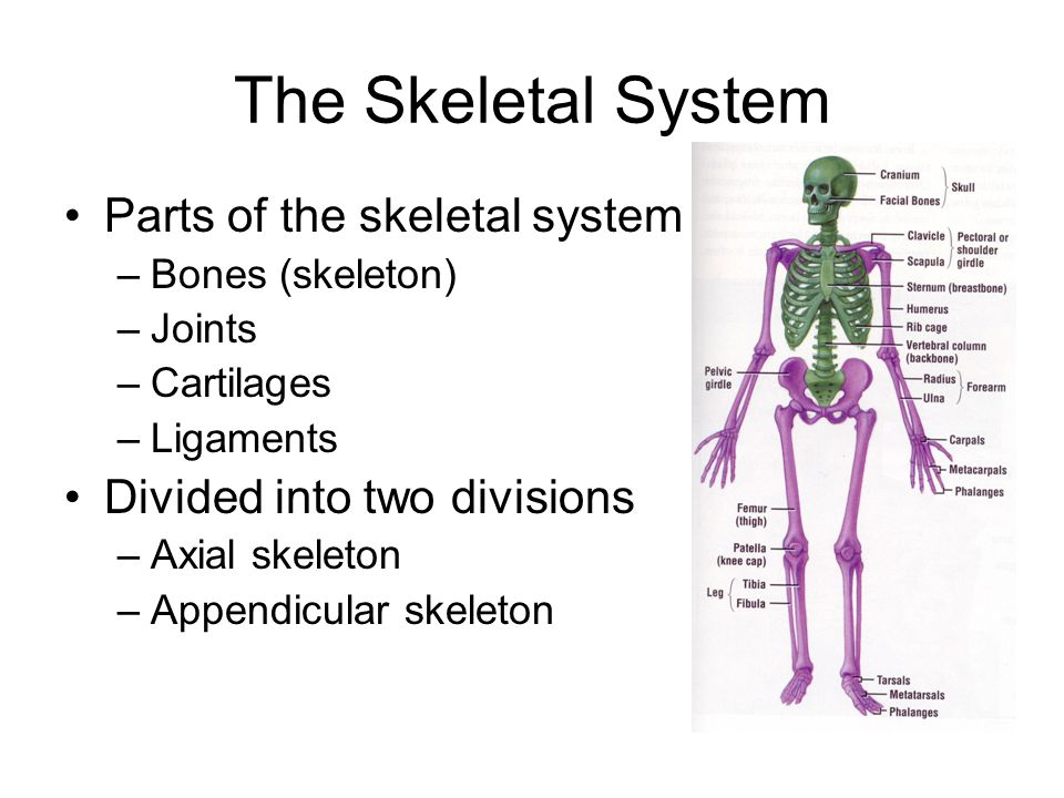 The Skeletal System Chapters 6 7 Ppt Download
