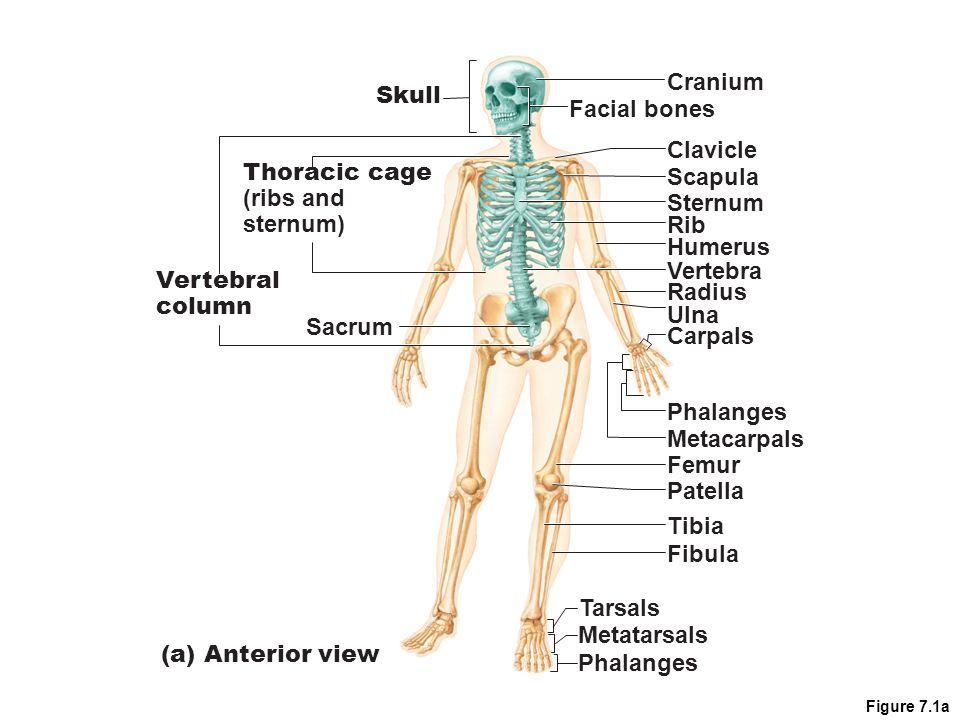 Axial Skeleton Sternum Diagram Online Schematic Diagram