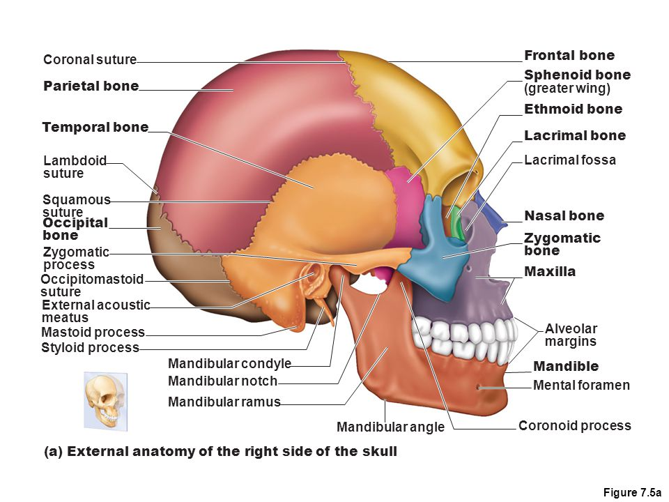 Right Side Of Skull Diagram - DIY Enthusiasts Wiring Diagrams •