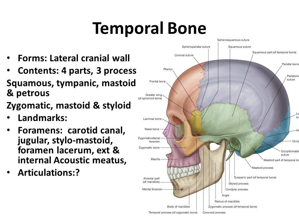 Petrous Temporal Bone Anatomy Images Human Body Anatomy