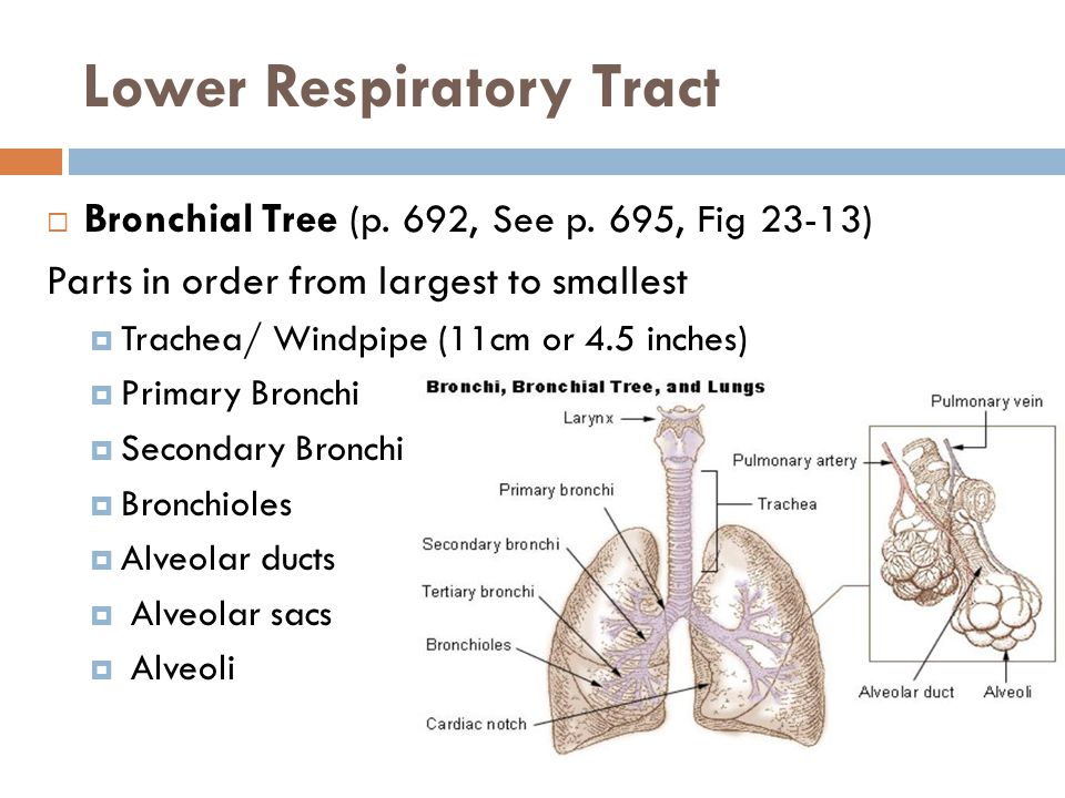 Respiratory System. - ppt video online download