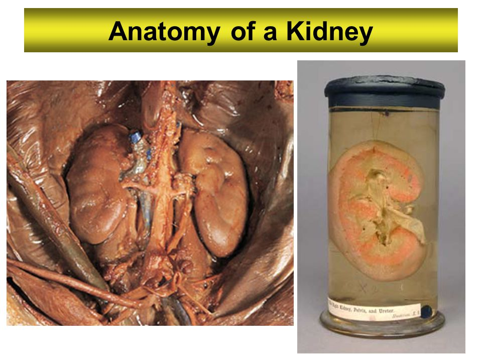 Anatomy of a Kidney