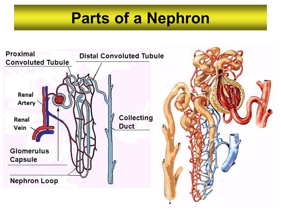 Parts of a Nephron Proximal Distal Convoluted Tubule Convoluted Tubule