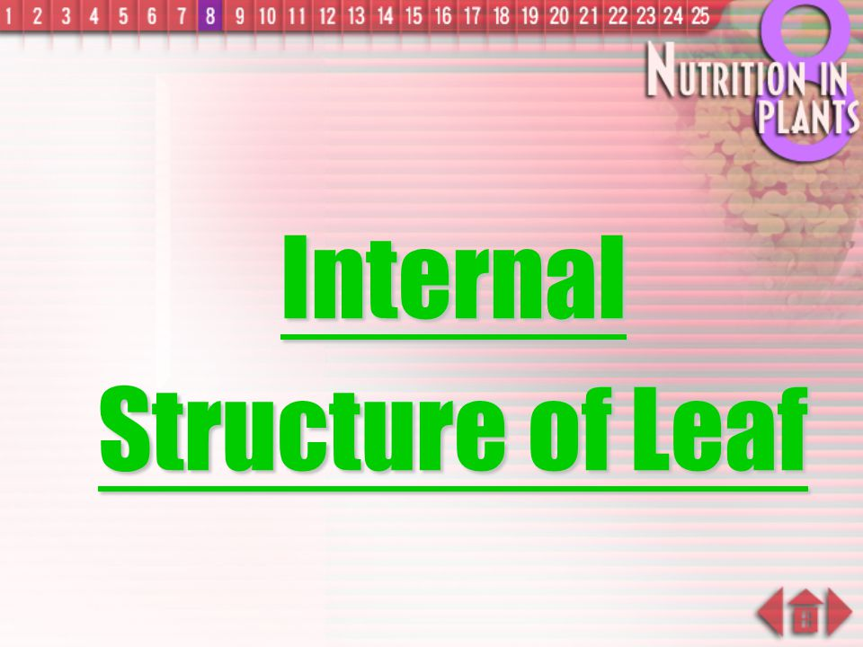 Internal Structure of Leaf