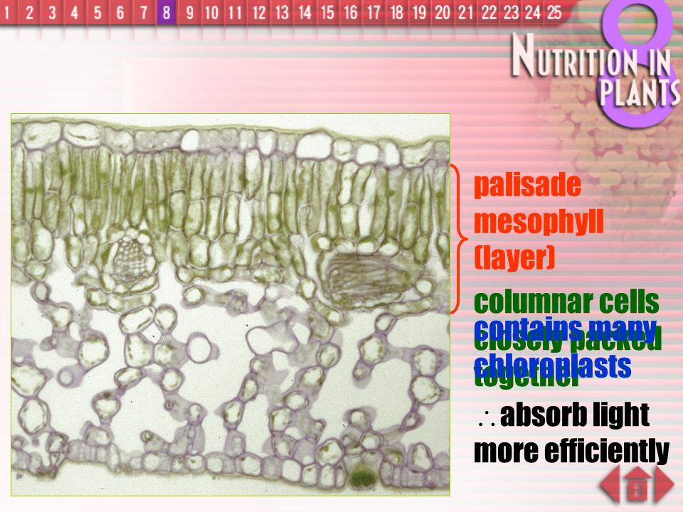 palisade mesophyll (layer)