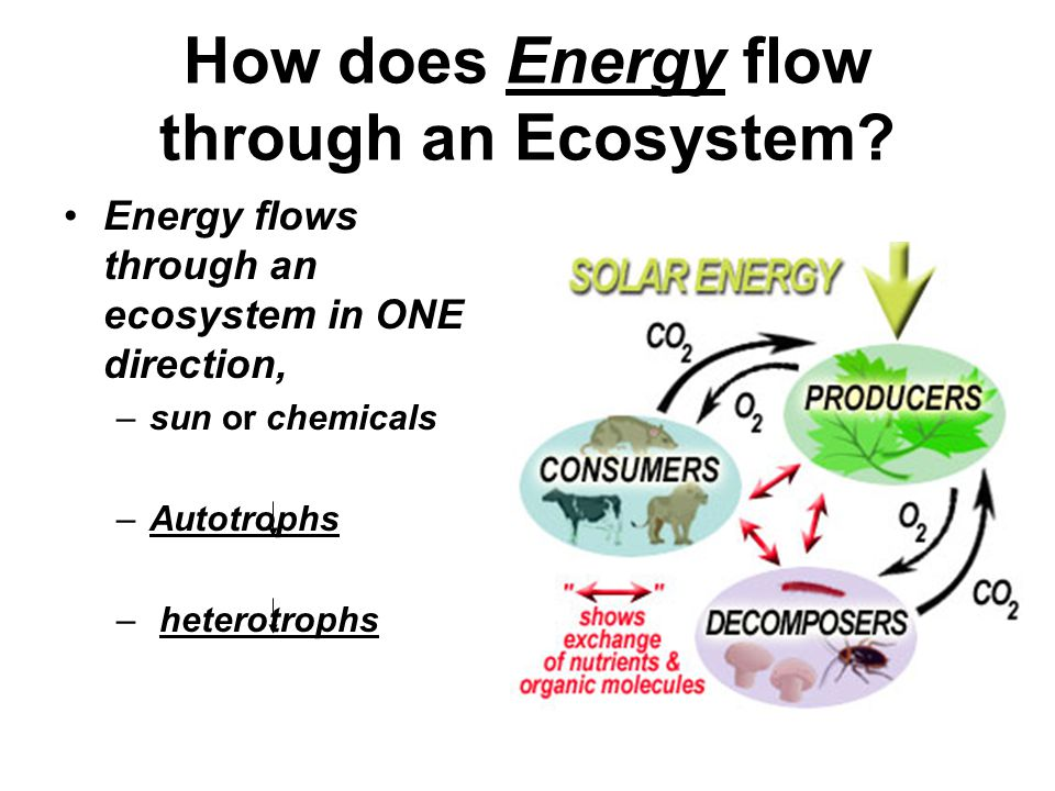 How does Energy flow through an Ecosystem