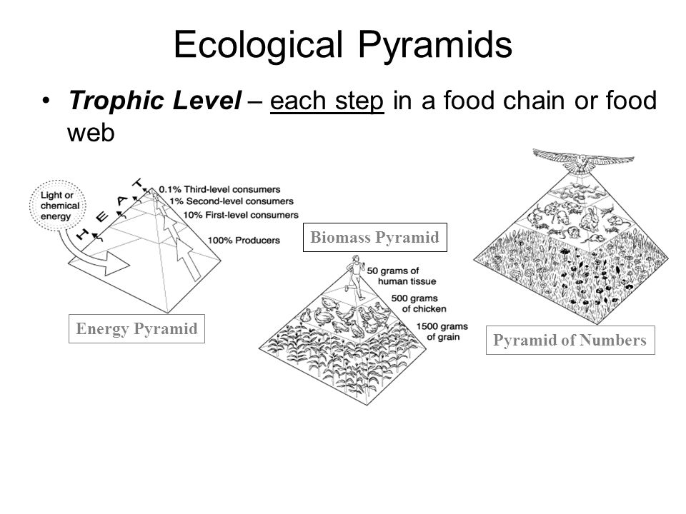 Ecological Pyramids Trophic Level – each step in a food chain or food web. Biomass Pyramid. Energy Pyramid.
