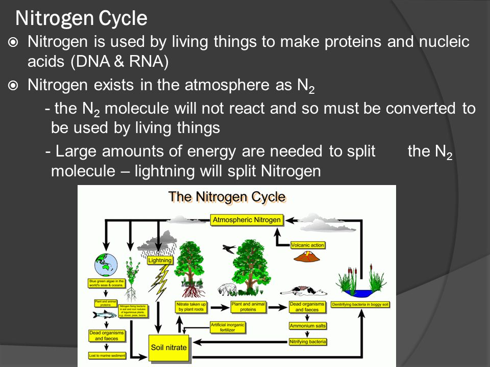 Nitrogen Cycle Nitrogen is used by living things to make proteins and nucleic acids (DNA & RNA) Nitrogen exists in the atmosphere as N2.