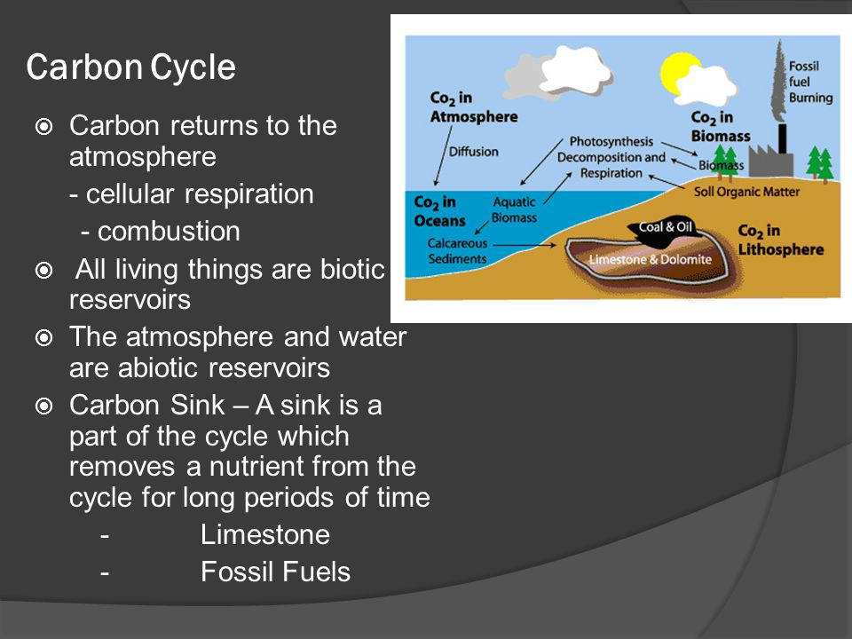 Carbon Cycle Carbon returns to the atmosphere - cellular respiration
