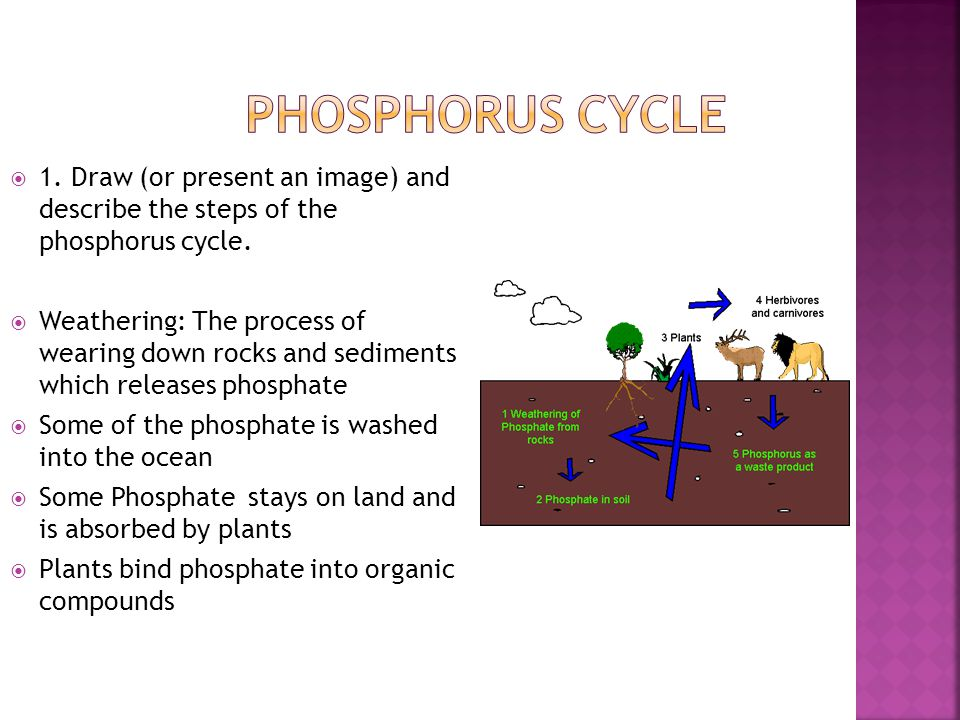 Phosphorus Cycle 1. Draw (or present an image) and describe the steps of the phosphorus cycle.