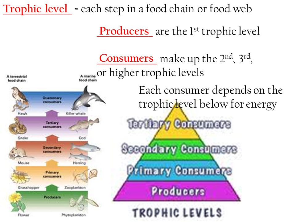________________ = each step in a food chain or food web
