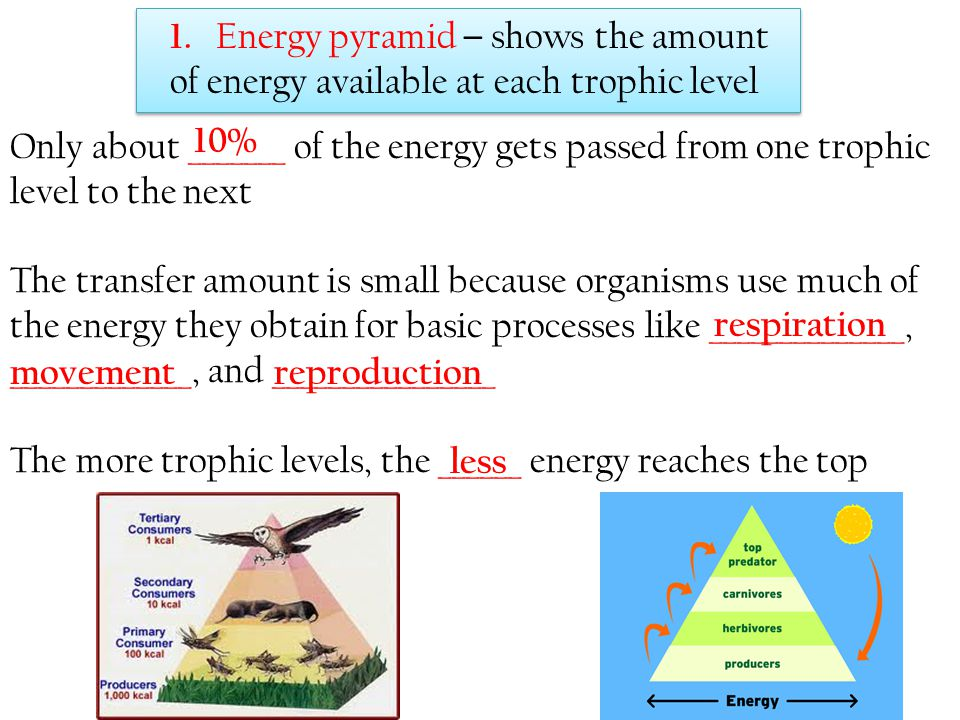 1. Energy pyramid – shows the amount of energy available at each trophic level