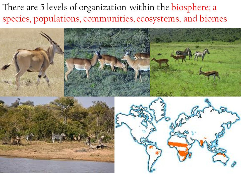 There are 5 levels of organization within the biosphere; a species, populations, communities, ecosystems, and biomes