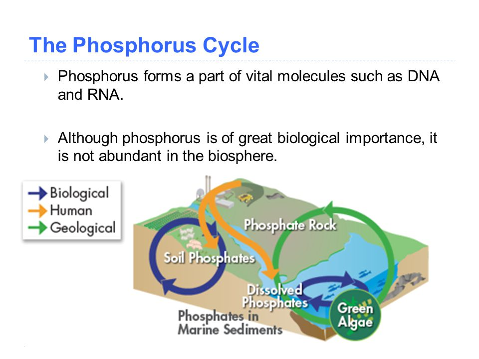 The Phosphorus Cycle Phosphorus forms a part of vital molecules such as DNA and RNA.
