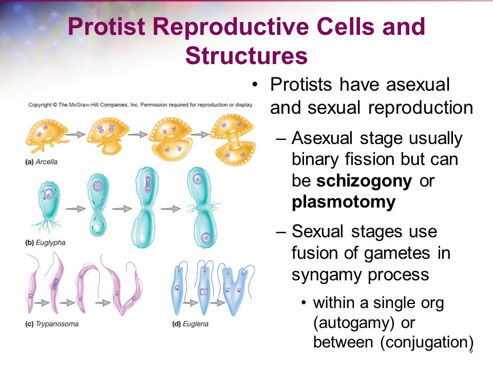 What happens to gametes during sexual reproduction of protists
