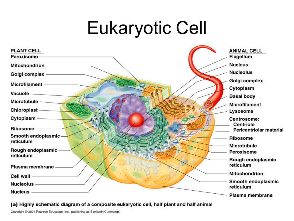 prokaryotic and eukaryotic cells ppt video online download rh slideplayer com eukaryotic animal cell diagram labeled Eukaryotic Plant Cell Diagram
