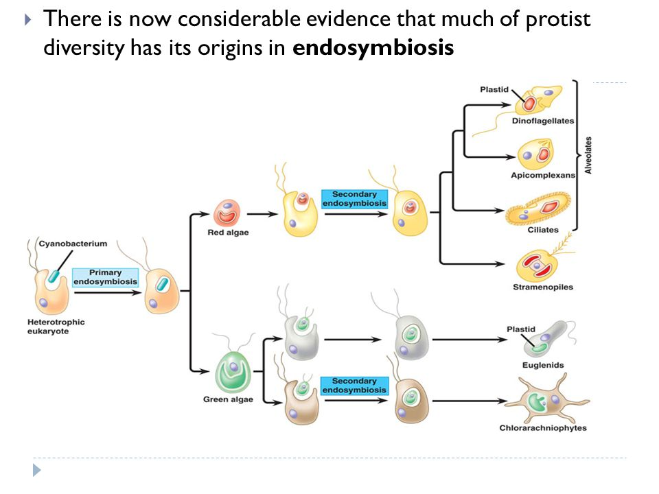 There is now considerable evidence that much of protist diversity has its origins in endosymbiosis