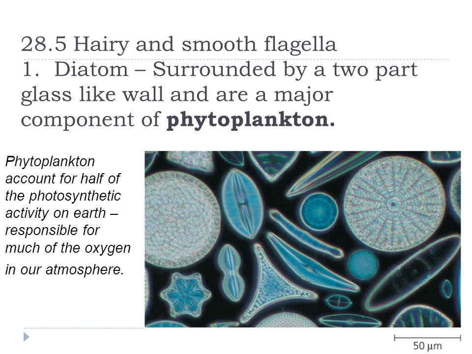28. 5 Hairy and smooth flagella 1