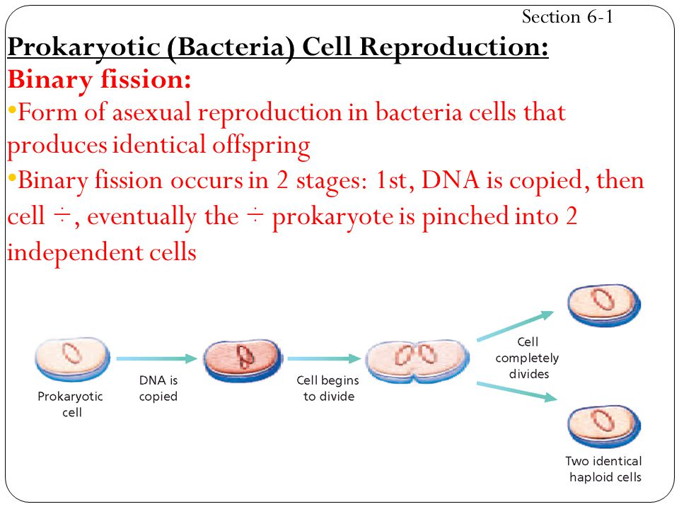 Cellular asexual reproduction fission