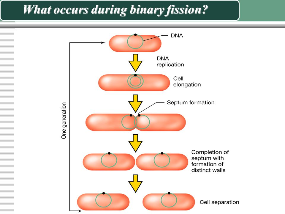 What occurs during binary fission