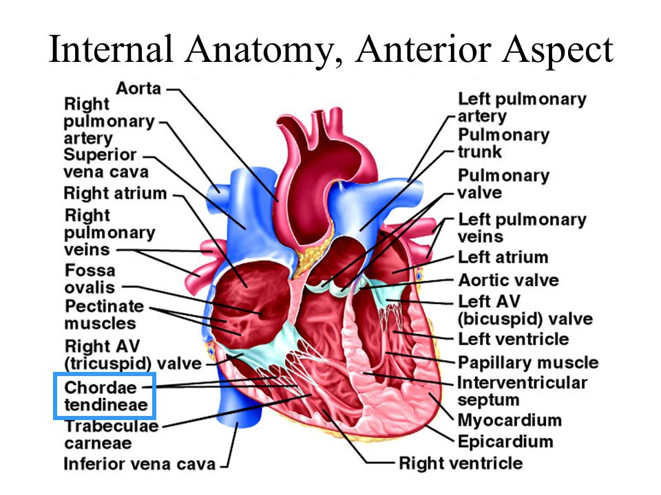 Chapter 19 The Heart Circulatory system Cardiovascular system - ppt ...