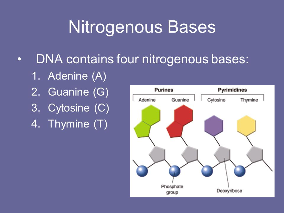 Nitrogenous Bases DNA contains four nitrogenous bases: Adenine (A)