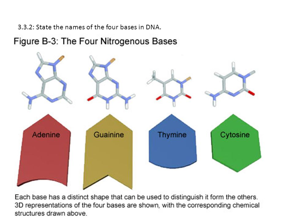 33dna structure ppt video online download 3 332 state the names of the four bases in dna ccuart Gallery