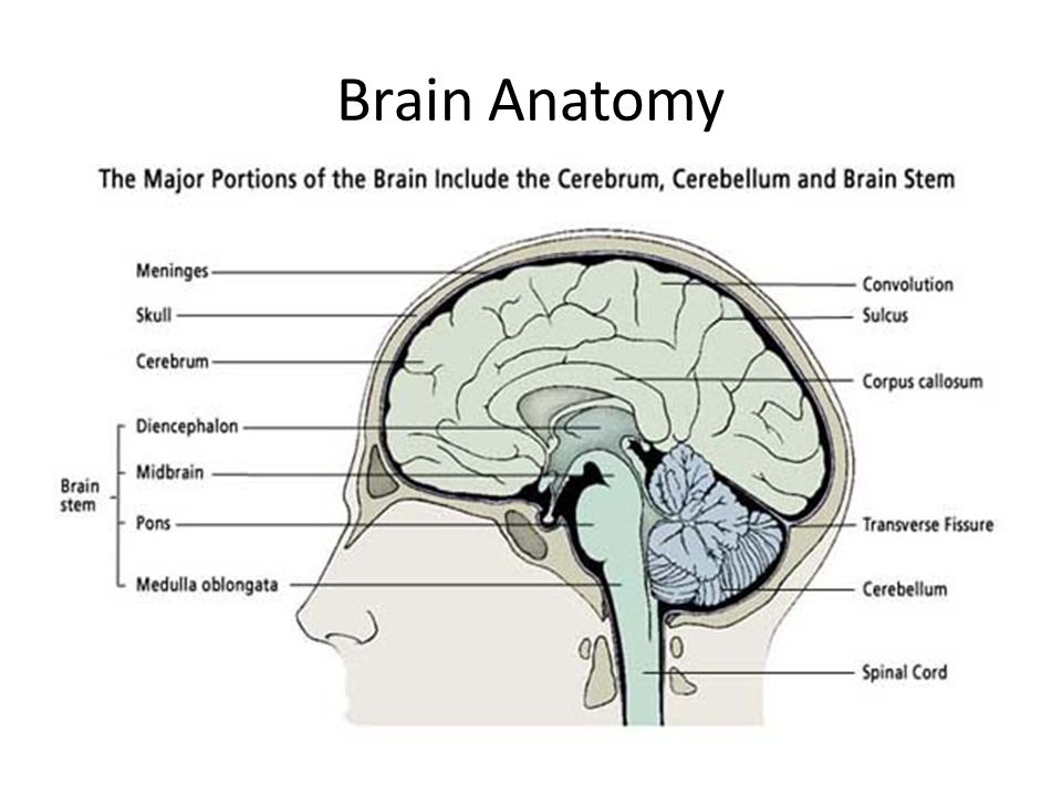 The Brain Lecture 2 Ali B Alhailiy. - ppt video online download