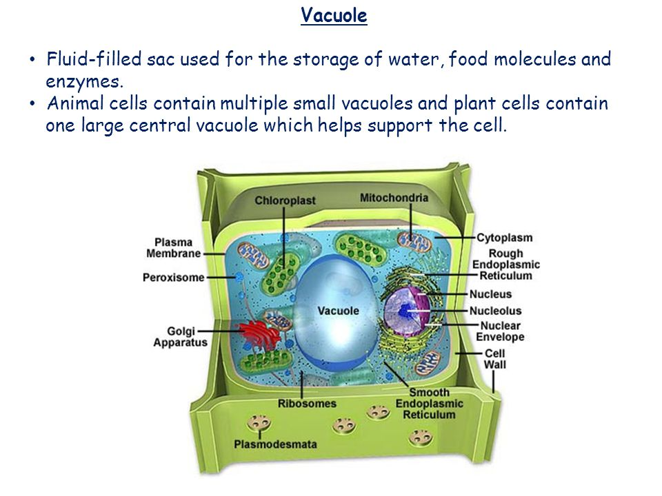 Vacuole Fluid-filled sac used for the storage of water, food molecules and. enzymes.