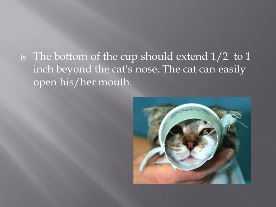 The bottom of the cup should extend 1/2 to 1 inch beyond the cat s nose.