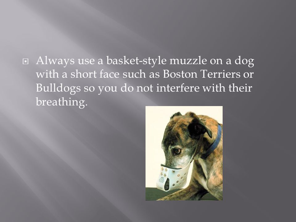 Always use a basket-style muzzle on a dog with a short face such as Boston Terriers or Bulldogs so you do not interfere with their breathing.
