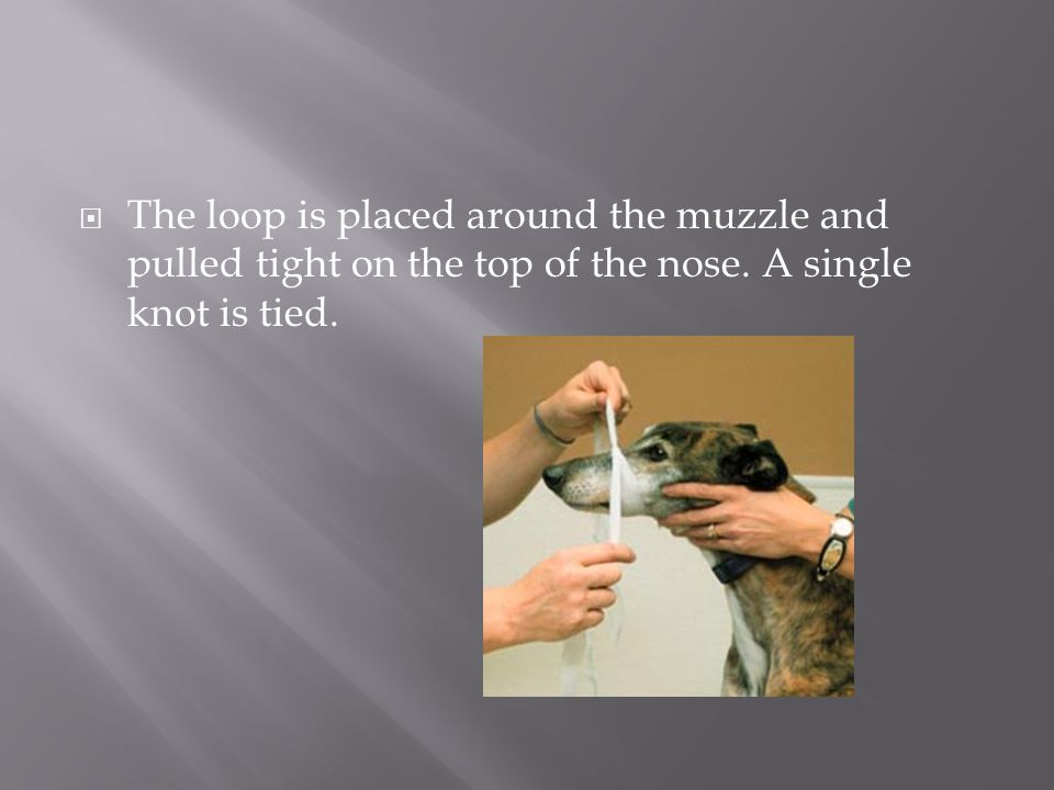 The loop is placed around the muzzle and pulled tight on the top of the nose. A single knot is tied.