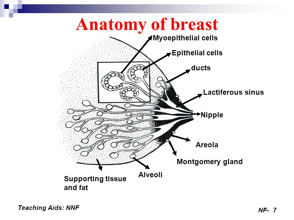 Anatomy of breast Myoepithelial cells Epithelial cells ducts