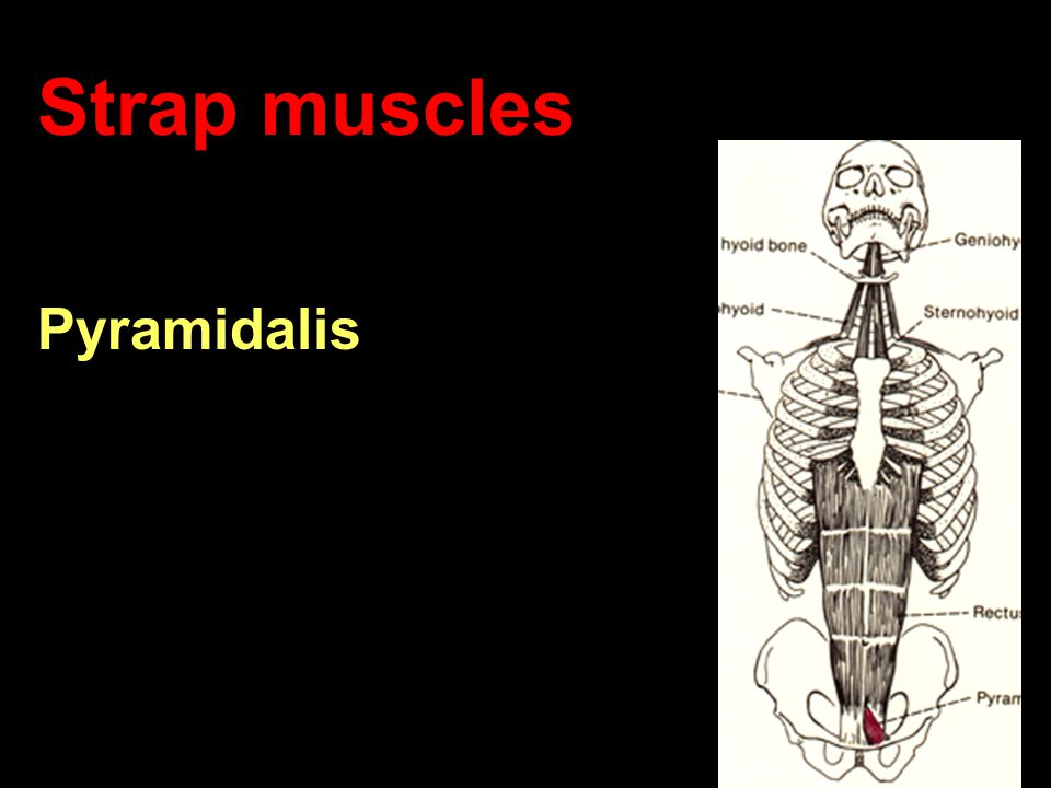 Axial Musculature Biology 323 Human Anatomy for Biology Majors - ppt ...